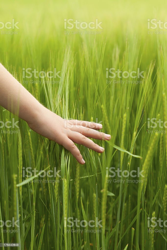 Hand in wheat field royalty-free stock photo