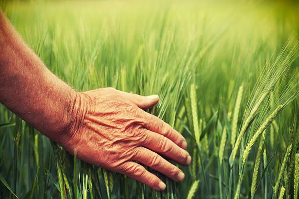 Hand in wheat field – Foto