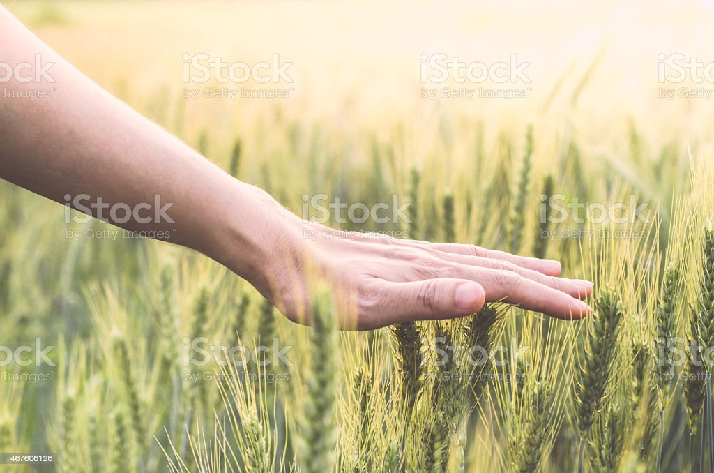 Hand in wheat field when go to heaven stock photo