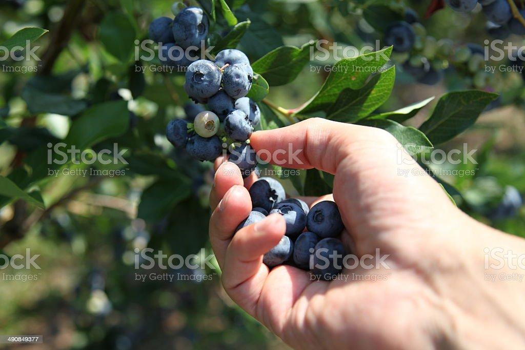 Hand is harvesting ripe blueberries stock photo
