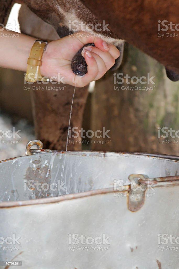 Hand milking and gushing milk royalty-free stock photo