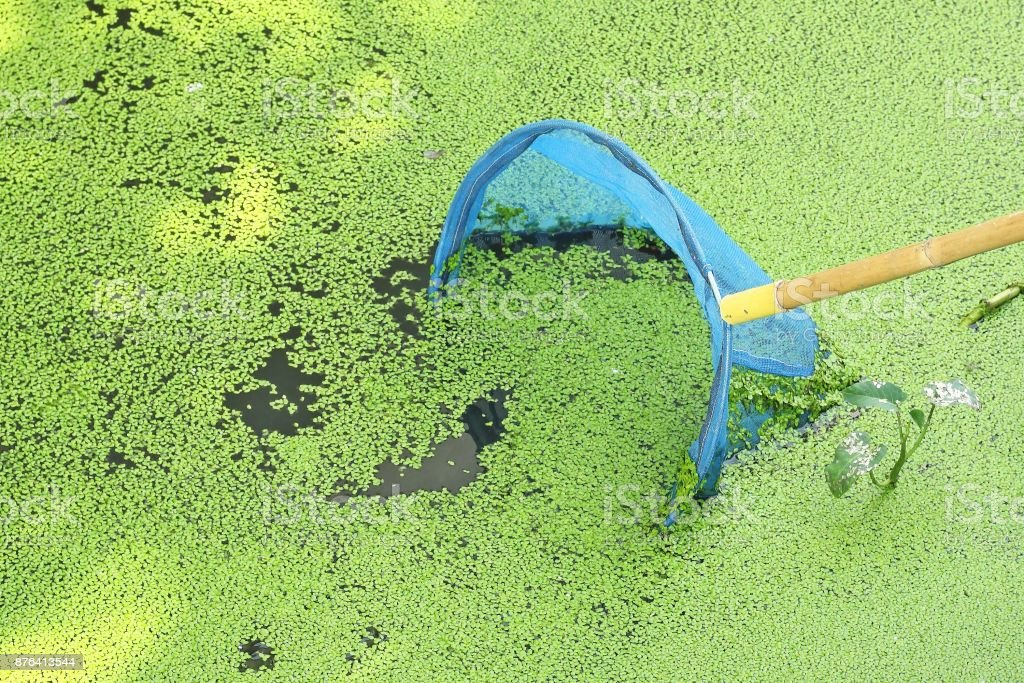 Hand net or dip net with duckweed in the river stock photo