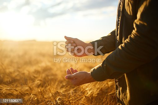 Photo. Hand of a farmer holding wheat grains In the field in sunset. Rich harvest.