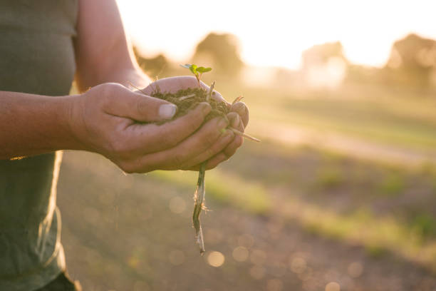 Hand of a farmer with rapeseed seedlings in the back light stock photo