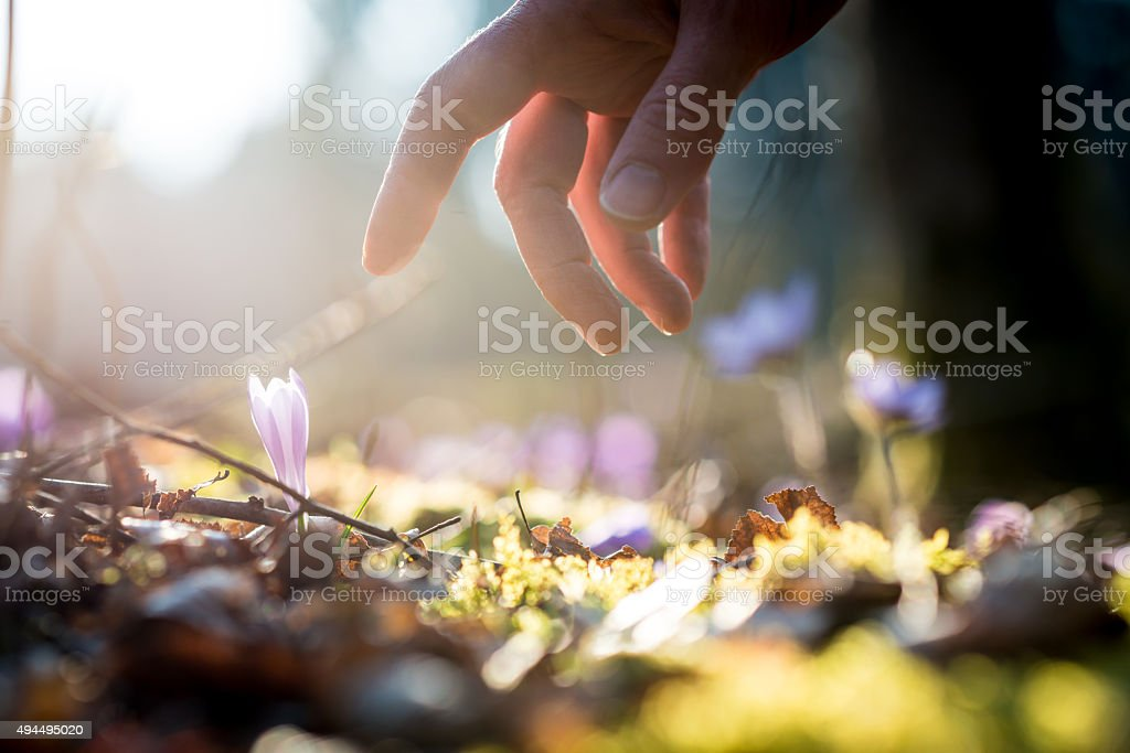 Hand of a man above a new delicate blue flowers stock photo