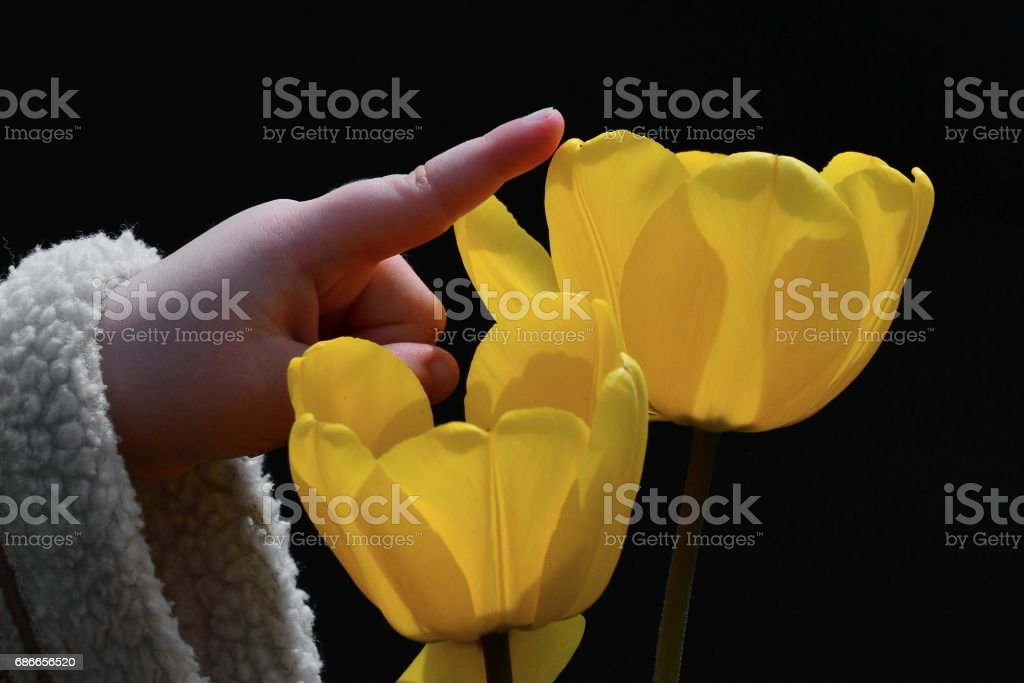 Hand of a small child in winter coat sleeve touching one of the two yellow tulip flowers royalty-free stock photo