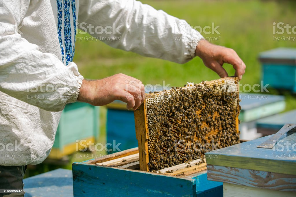 Hand of beekeeper is working with bees and beehives on the apiary. Bees on honeycombs. Frames of a bee hive stock photo