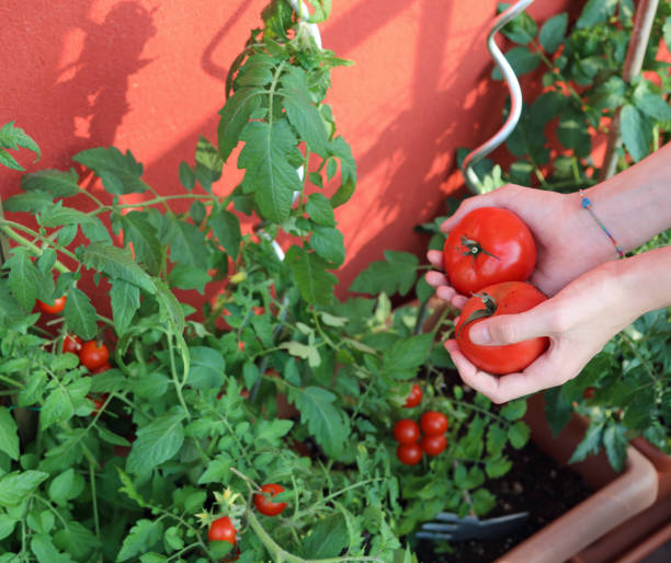 hand of boy picking tomatoes from the urban garden on the terrac stock photo