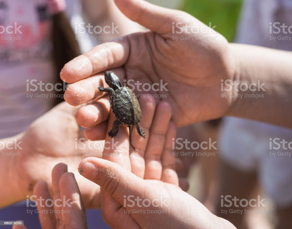 Hand of children holding cute newborn baby turtle stock photo