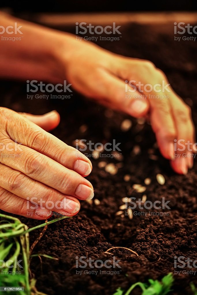 Hand of elderly woman throwing seeds in dirt. stock photo