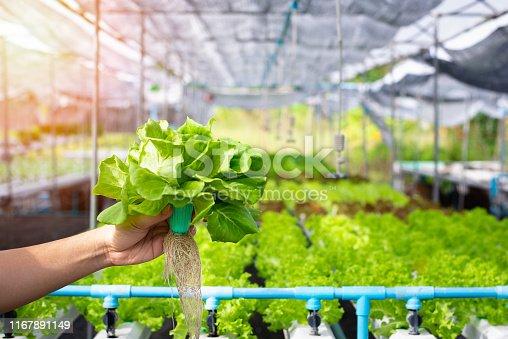 istock Hand of farmer hold Hydroponics vegetable in greenhouse, Fresh hydroponics vegetable farm, Salads vegetable hydroponics farm. 1167891149