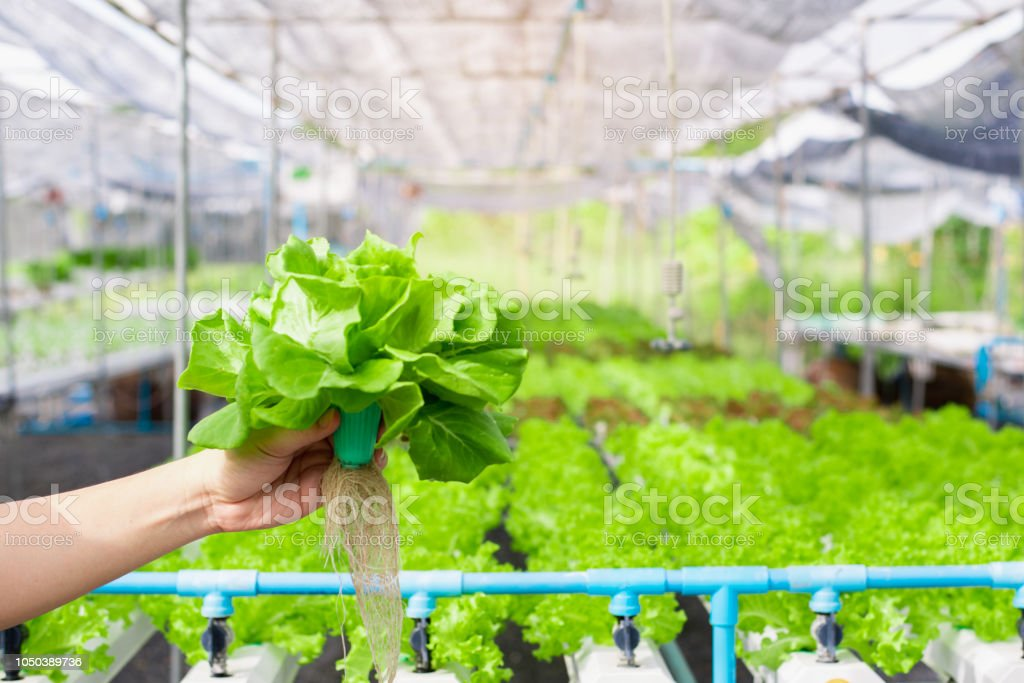 Hand of farmer holding  Hydroponics vegetable in famrland. stock photo