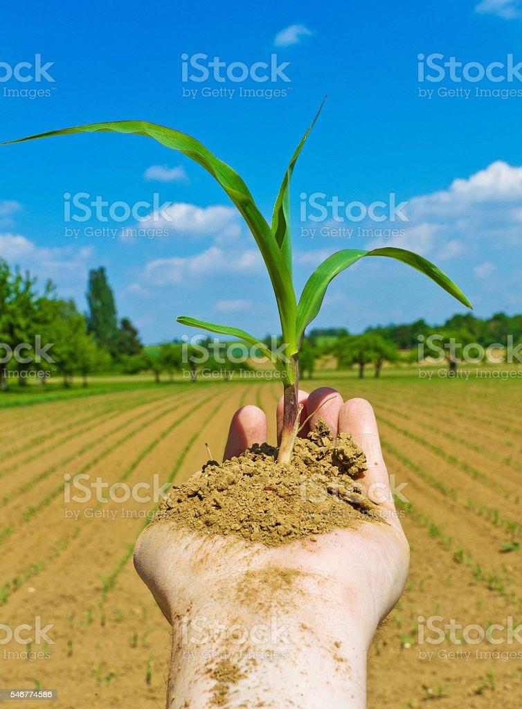 Hand of farmer planting crop stock photo