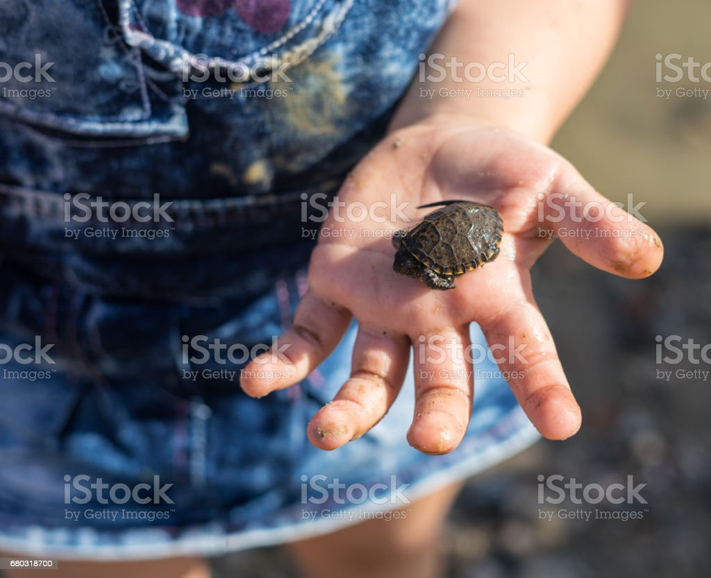 Hand of girl holding cute newborn baby turtle stock photo