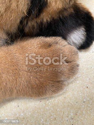 Hand of little tiger at Chonburi, Thailand.