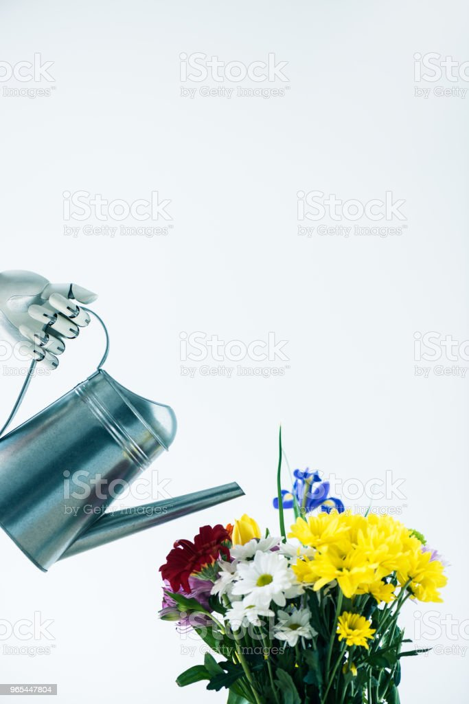 hand of robot holding watering can and beautiful blooming flowers isolated on white royalty-free stock photo