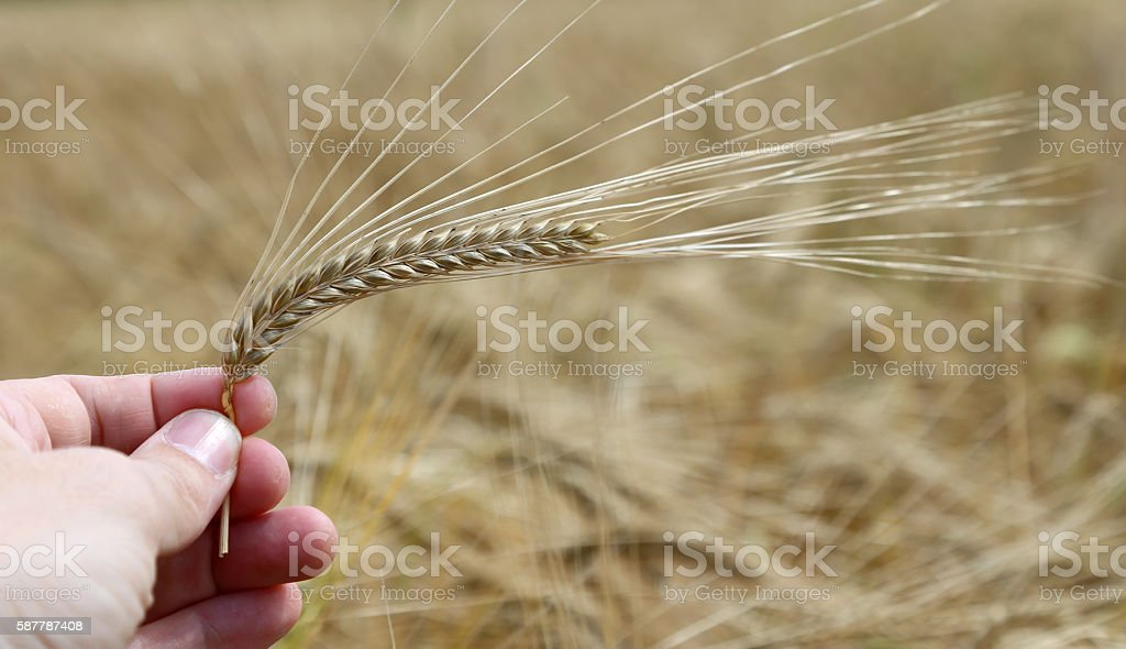 hand of the farmer holds mature yellow ear of wheat stock photo
