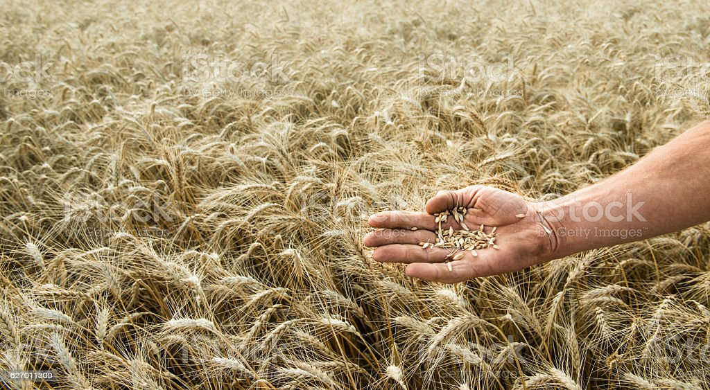 Hand of the grain-grower against a wheaten field stock photo