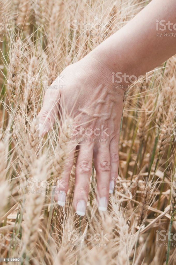 hand of woman on a wheat field stock photo