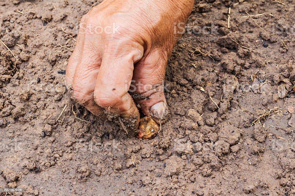 Hand of woman planting onion in the vegetable garden. stock photo