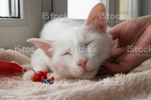 Hand of woman stroking young gentle white cat white cat with its toy picture id973839420?b=1&k=6&m=973839420&s=612x612&h=llnkppfzx ijjdnnzz9tbc8r9onj2ie0oronthmw2ya=