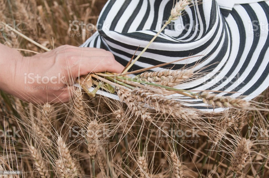 hand of Woman with hat in a Wheat field stock photo