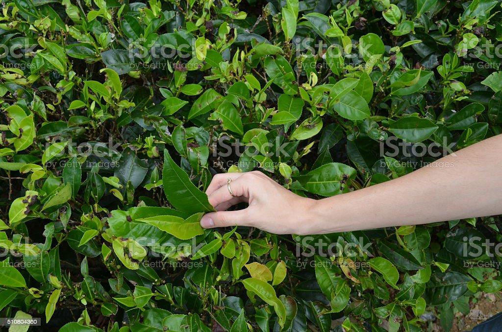 Hand on the tea field stock photo