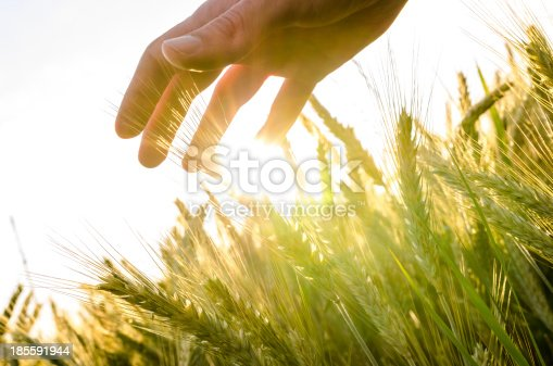 Hand over wheat field in early summer evening.