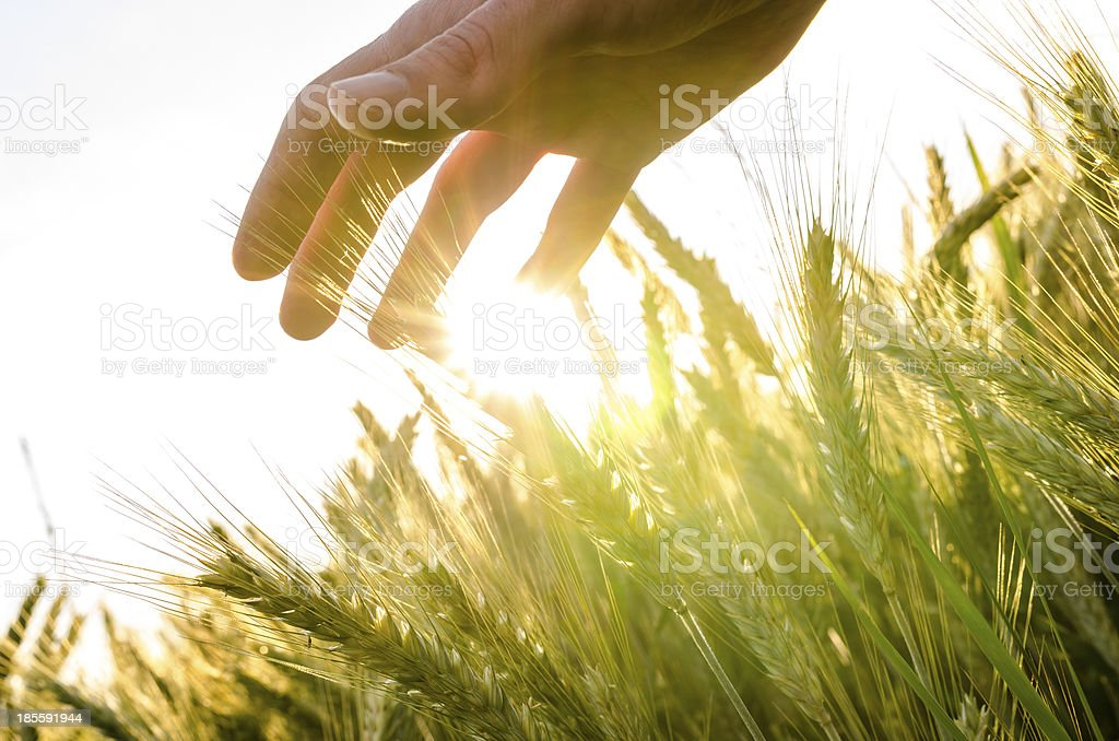 Hand over wheat field stock photo