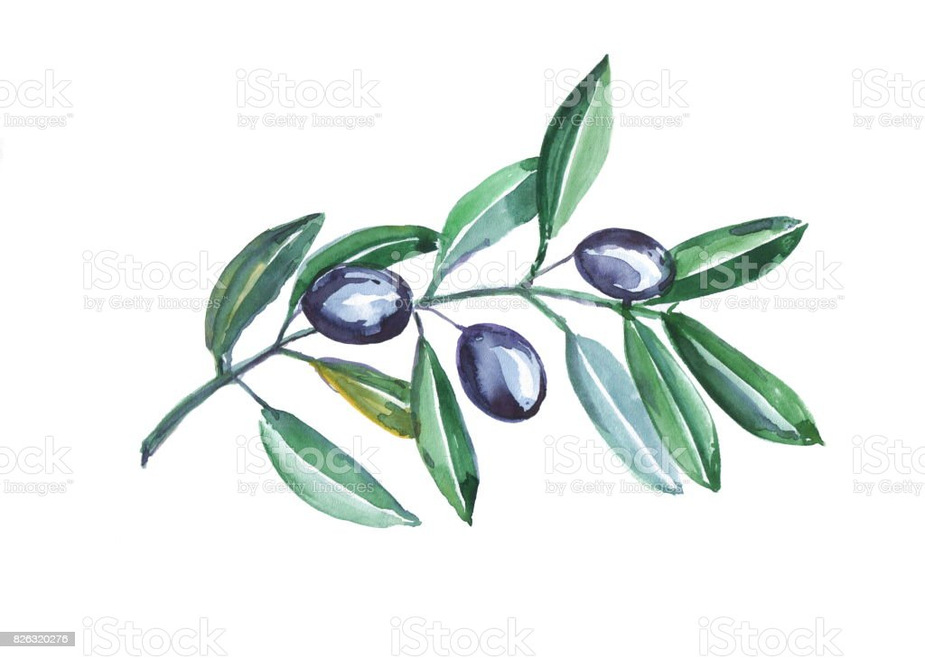hand painted watercolor olives on branch isolated on white background. stock photo
