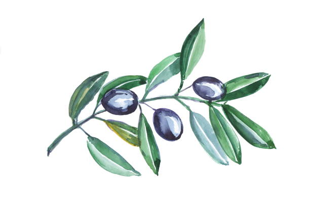 hand painted watercolor olives on branch isolated on white background. - ramoscello d'ulivo foto e immagini stock