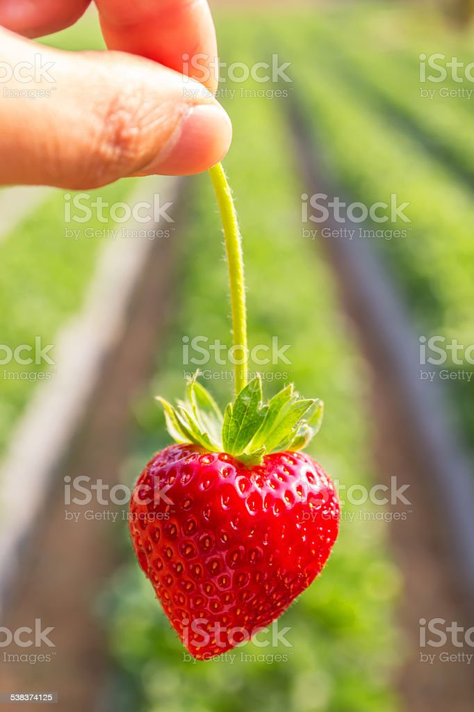 Hand pick a branch of strawberry stock photo