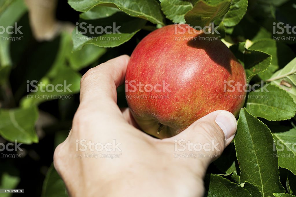 Hand picking a red apple. royalty-free stock photo