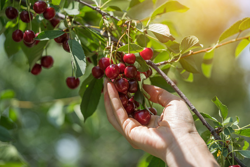 A hand picking big matured cherry from tree
