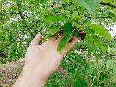 Hand picking big matured cherry from tree.