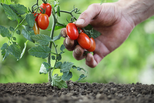 istock Hand picking cherry tomatoes from the plant in vegetable garden, close up 824167102