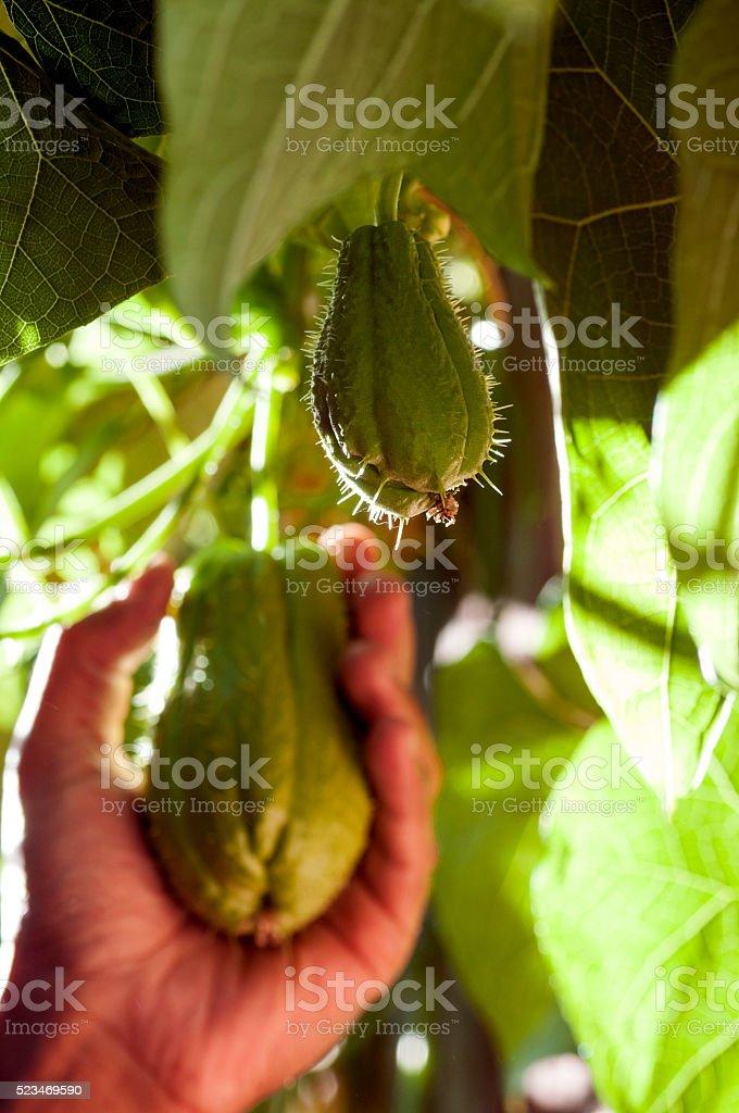 Hand picking, harvesting chayote fruits stock photo