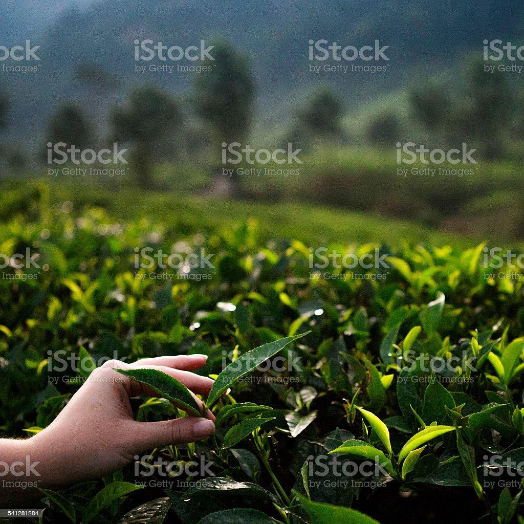 Hand Picking Leaves on Tea Shrubs stock photo