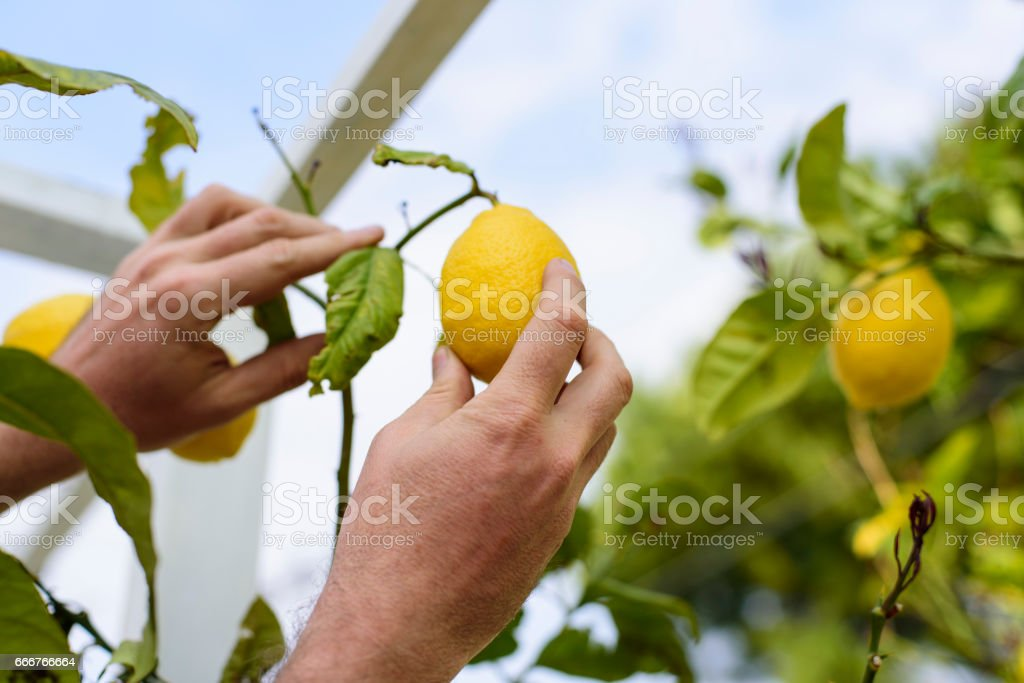 Hand picking lemon foto stock royalty-free