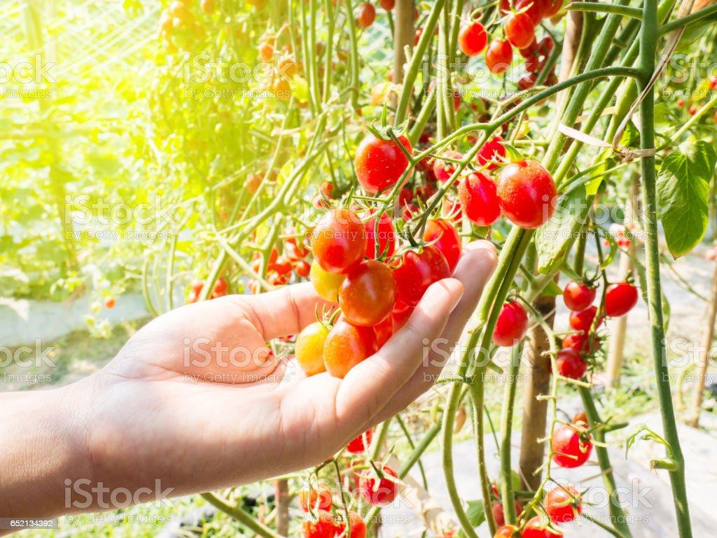 Hand pflücken reife Tomaten – Foto