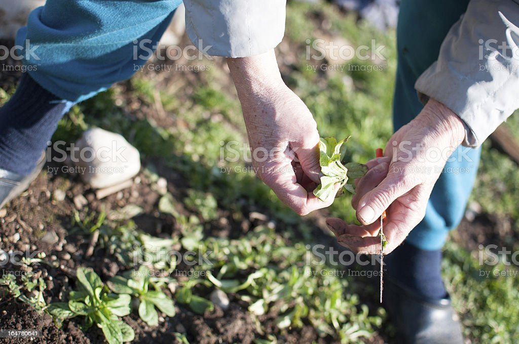 Hand picking salad royalty-free stock photo
