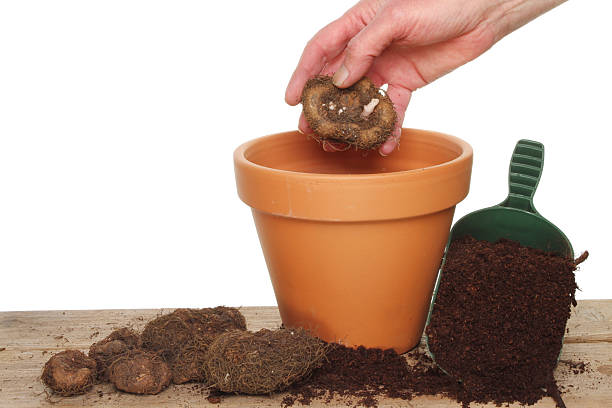 Hand planting a bulb foto