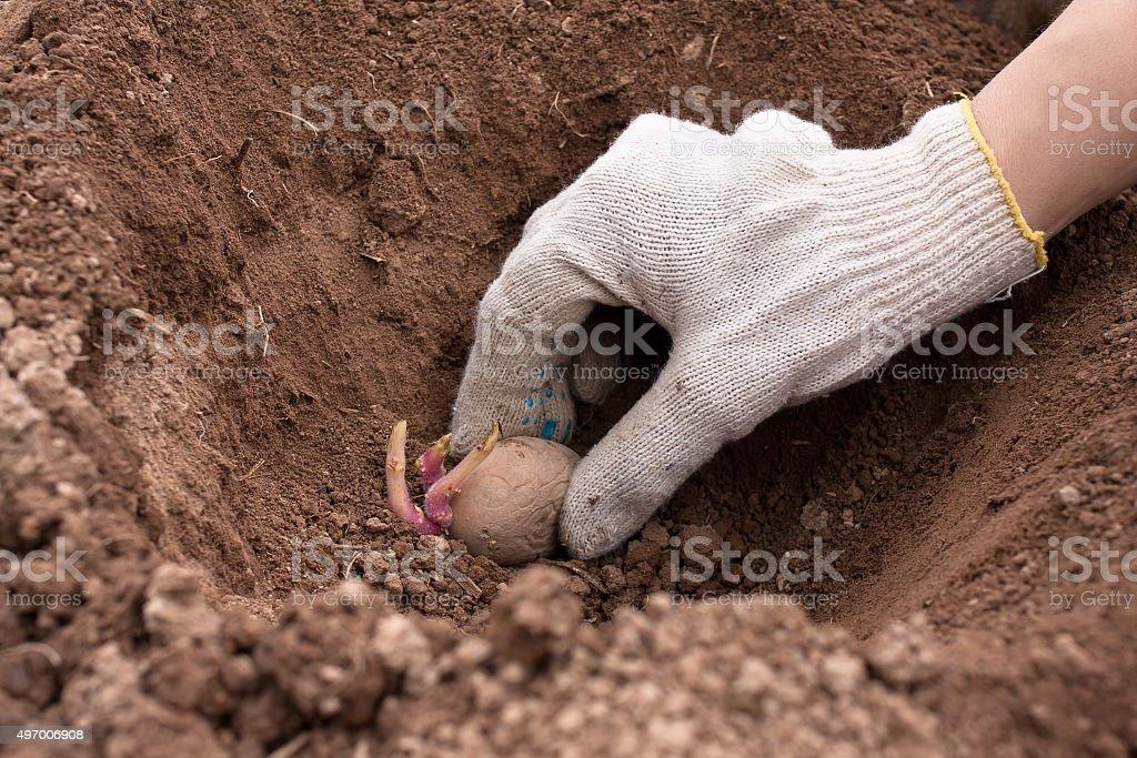hand planting potato into the ground stock photo