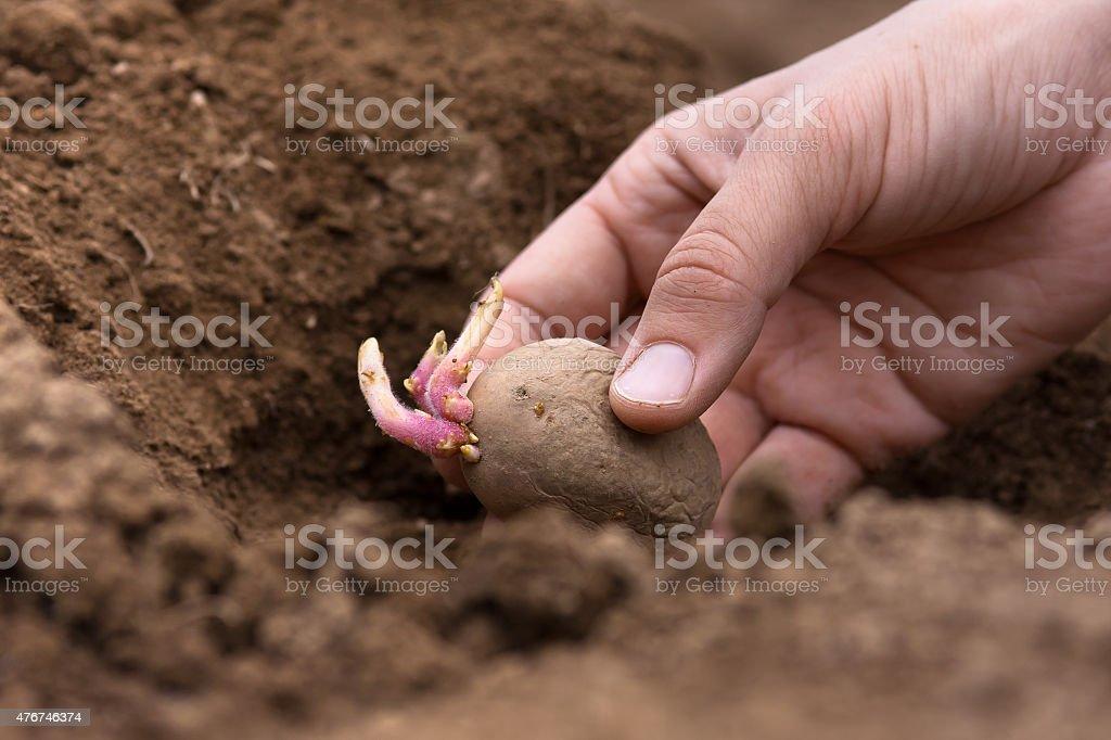 hand planting potato tuber into the ground stock photo