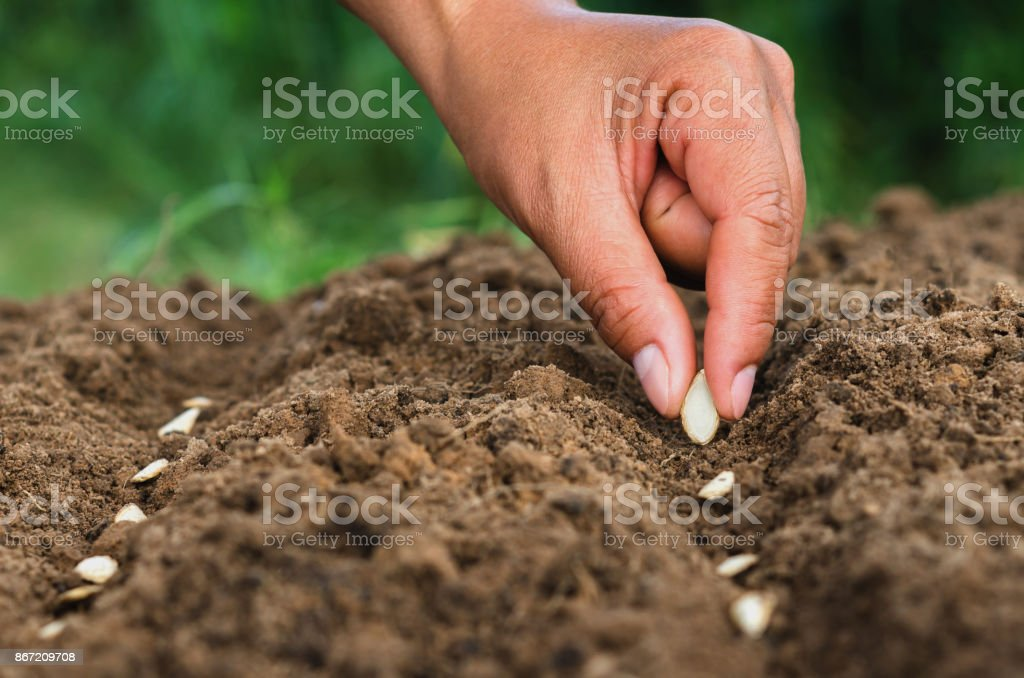 hand planting pumpkin seed of marrow in the vegetable stock photo
