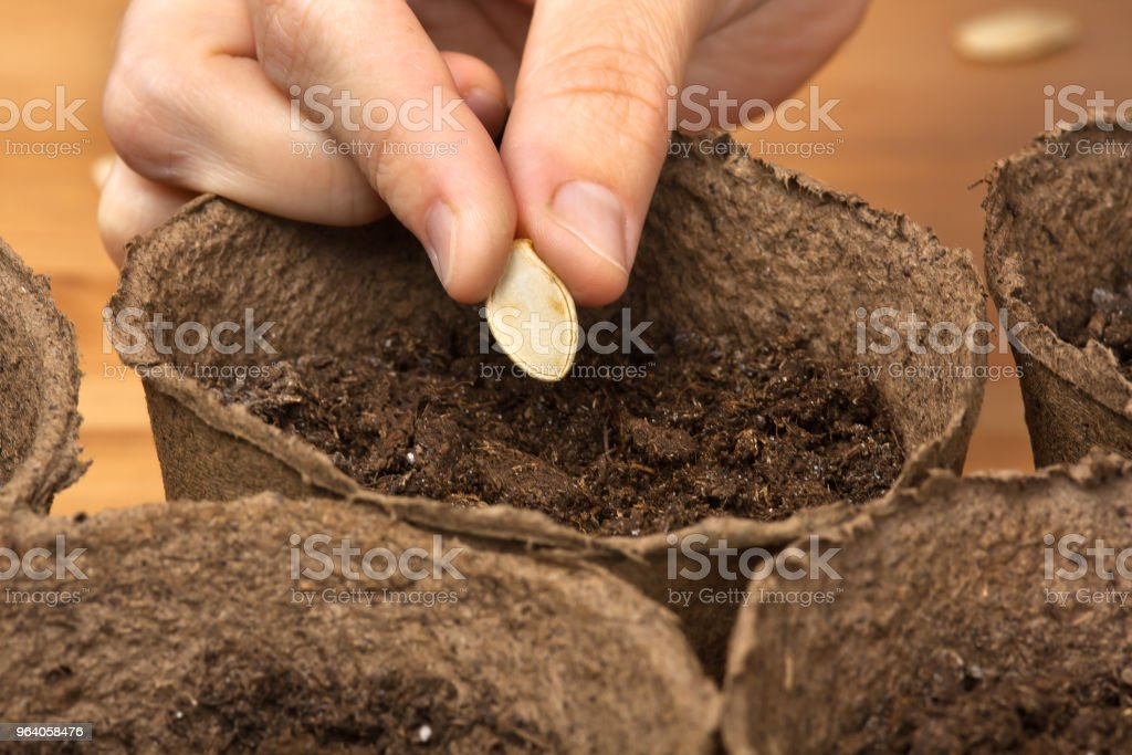 hand planting seeds in the peat pot - Royalty-free Adult Stock Photo