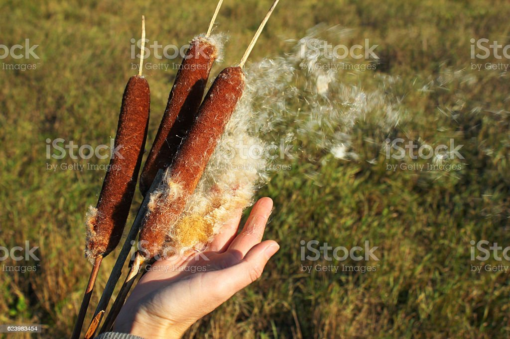 Hand plucking out cottony fluff of a cattail stock photo