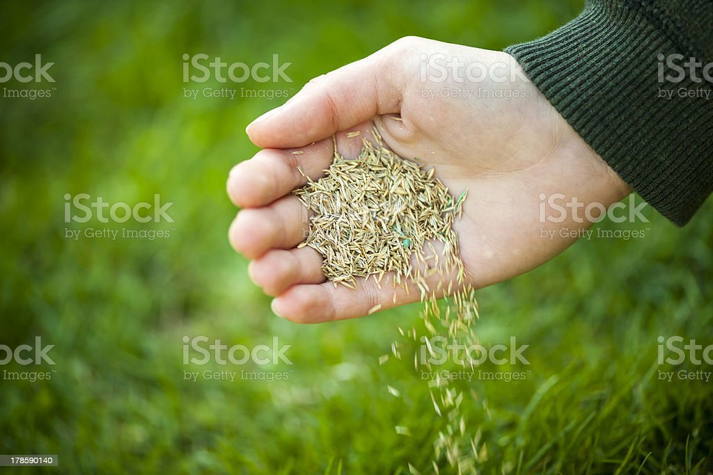 A hand pouring grass seeds to the ground stock photo