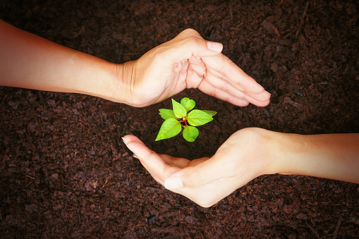 637583458 istock photo Hand protect new leaf on the ground. 908970668
