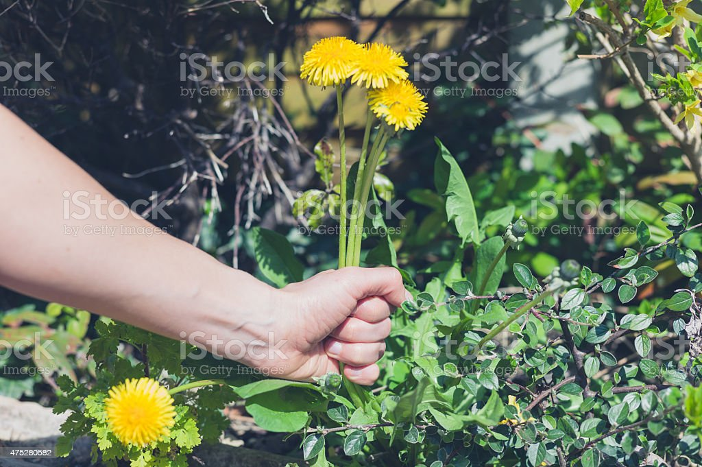 Hand pulling weeds A female hand is pulling at some weed in a garden 2015 Stock Photo